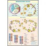 Plansa Reproducerea celulei/ Viermii plati parazitari