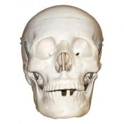 Model craniu, marime naturala, din 3 parti