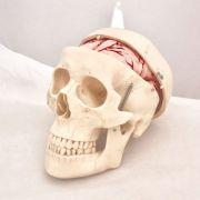 Model craniu clasic cu encefal - 8 parti