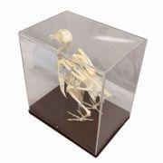 Mulaj schelet de porumbel