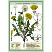 Plansa - Papadia (Taraxucum officinale)