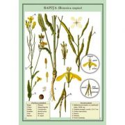 Plansa - Rapita (Brassica napus)