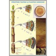 Plansa dubla - Structura tulpinei la plantele lemnoase/ Structura varfului de radacina