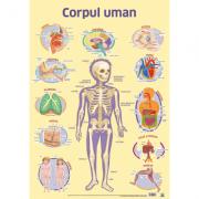Plansa. Corpul uman